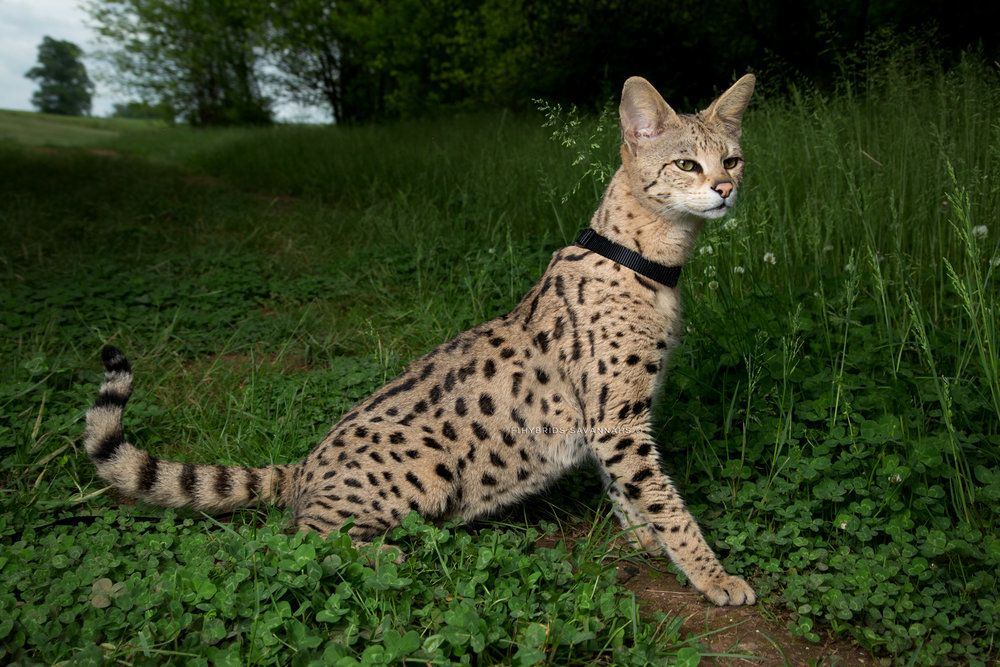 savannah_cat