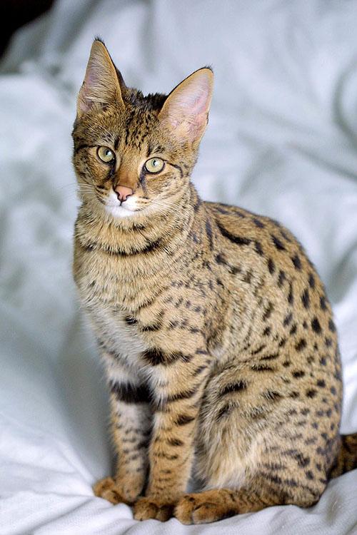 savannah_kedisi_savannah_cat